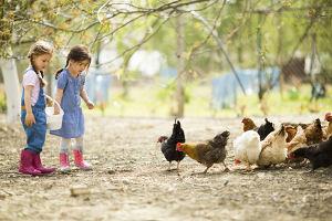 2 kleine Mädchen füttern Hühner auf dem Bauernhof